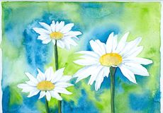 White Marguerite. Three white marguerites in watercolor technique, created and painted on artist paper by the photographer Royalty Free Stock Photos