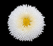 White marguerite daisy flower isolated on black background. Stock Image