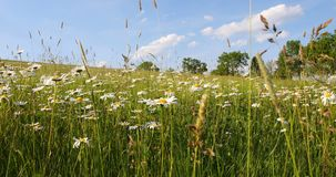 White marguerite or daisy flower on meadow in springtime breeze stock video footage