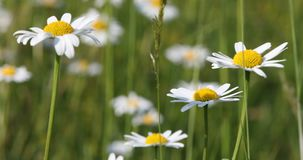 White marguerite or daisy flower on meadow in springtime breeze stock footage