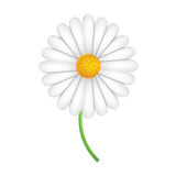 White marguerite flower on a green stalk Royalty Free Stock Photography