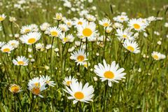 White marguerite flowers Royalty Free Stock Images