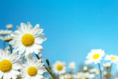 White marguerite flowers Stock Photo