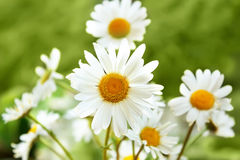 White marguerite flowers Stock Image