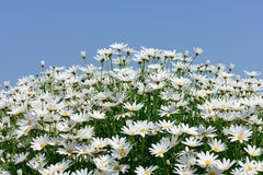 White marguerite Stock Images
