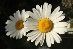 White marguerite flowers on black background Royalty Free Stock Images
