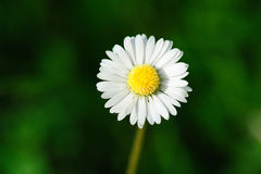 White marguerite. With fuzzy green background Royalty Free Stock Image