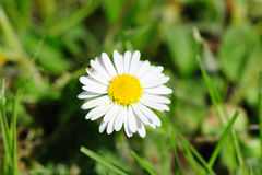 White marguerite. With green grass Royalty Free Stock Images