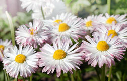 White marguerites Stock Photo