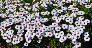 White marguerites Royalty Free Stock Photography