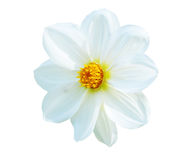 White marigold. Isolated picture of white marigold stock photo