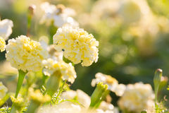 White Marigold Flowers. White Marigold Flower in the morning Stock Photo