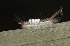 White-marked Tussock Moth Caterpillar Royalty Free Stock Photos