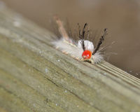 White-marked Tussock Moth Caterpillar Stock Images