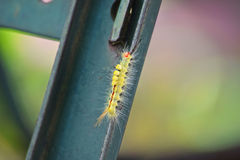 White-Marked Tussock Moth Caterpillar Stock Photography