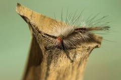 White-marked Tussock Moth Caterpillar -  Orgyia leucostigma Royalty Free Stock Photos