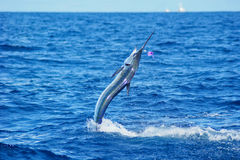 White Marlin jumping. Out of water. Sport fishing in Venezuela Royalty Free Stock Images