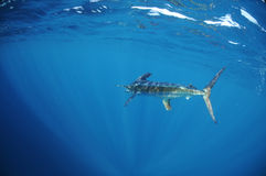 White marlin swimming in ocean. A white marlin (Tetrapturus albidus) swimming off the coast of Venezuela Stock Photography