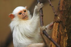 White marmoset Royalty Free Stock Photo