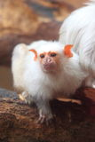White marmoset Royalty Free Stock Photos