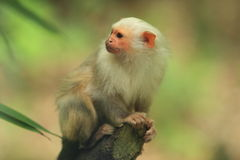White marmoset Royalty Free Stock Images