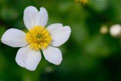 Free White Marsh Marigold Caltha Palustris Alba Royalty Free Stock Photo - 174474155