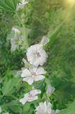 Althaea officinalis in the green meadow. White Marshmallow flower. Marsh mallow flower medicinal plant or ornamental plant Royalty Free Stock Image