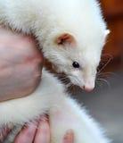 White Marten Royalty Free Stock Photo