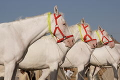 White Marwari Horses Stock Photography