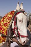 White Marwari Stallion Royalty Free Stock Photography