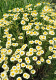 White Matricaria flowers on the meadow. Royalty Free Stock Photos