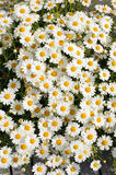 White Matricaria flowers on the meadow. Stock Images