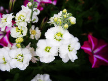 White Matthiola Stock Photography