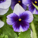 White and mauve pansy flower closeup Stock Images