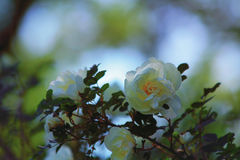 White may roses Royalty Free Stock Photos