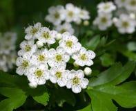 White mayblossom inflorescence Stock Image