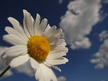 Daisy is like a cloud and the sun in the sky Stock Images