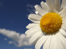Daisy is like a cloud and the sun in the sky stock image