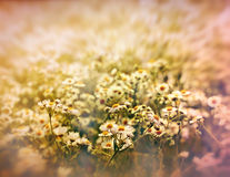 White meadow flowers - daisy Stock Photography