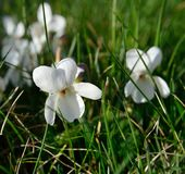 White meadow violet in spring Stock Image
