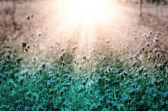 White meadow wild flower at morning sunrise  fresh nature backgr Stock Photos