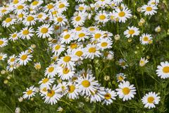 Medicinal daisies in the field. Matricaria chamomilla. stock image