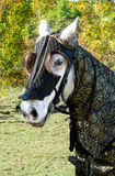 White medieval horse. White horse dressed in medieval gear prior to jousting display Stock Image