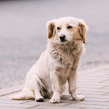 White Medium Size Mixed Breed Homeless Dog Sit Outdoor Street Royalty Free Stock Images
