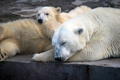 White Medveditsa Latin of Ursus maritimus sleep with two bear cubs a polar, northern bear nearby. Moscow Zoo. Predatory mammal of family bear, close relative stock image