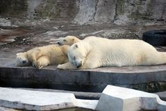 White Medveditsa Latin of Ursus maritimus sleep with two bear cubs a polar, northern bear nearby. Moscow Zoo. Predatory mammal of family bear, close relative royalty free stock image