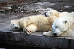 White Medveditsa Latin of Ursus maritimus sleep with two bear cubs a polar, northern bear nearby. Moscow Zoo. Predatory mammal of family bear, close relative royalty free stock photos