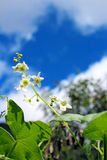 White melon flower under blue sky Royalty Free Stock Photography