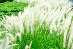 White mexican grass field in the windy. White mexican grass field in the windy time Stock Photos
