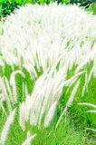 White mexican grass field in the windy. White mexican grass field in the windy time Royalty Free Stock Photography